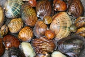 sangamon river mussels